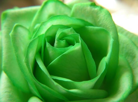 247115 rose -green -flower -beautiful-nature-wallpapers 3060x2264 (www.GetBg.net)